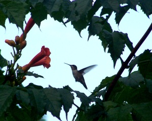 Humming Bird and Trumpet Flower