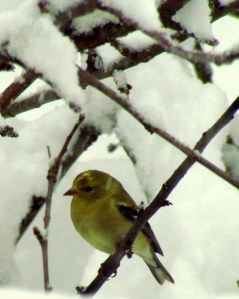A Spring Goldfinch in the Snow