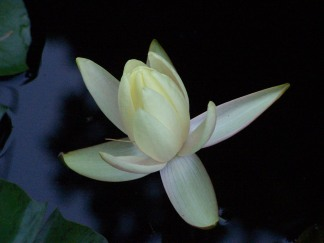 Water Lily in the Dark