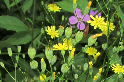 Nipplewort with a few Dame's rockets in the background