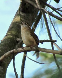 Carolina Wren Singing; photo by GAC.