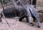 A Giant Anteater (San Antonio Zoo); photo by GAC
