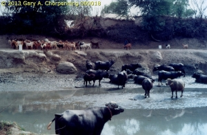 Water Buffalo and Goats at a Canal; photo by GAC