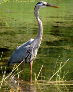 A Great Blue Heron; photo by GAC