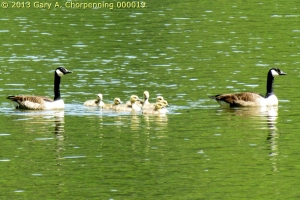 A Protective Family on the Chemung River in Elmira, NY; photo by GAC