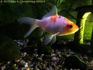 A Fish I've Been Raising; photo by GAC