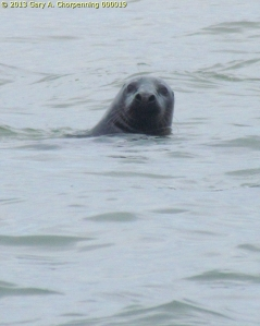 Harbor Seal off a Cape Cod Beach; photo by GAC