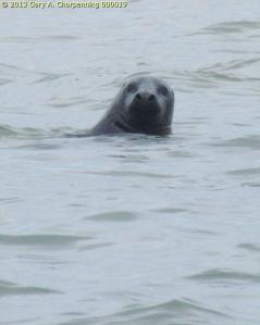 Harbor Seal off a Cape Cod Beach; photo by GAC