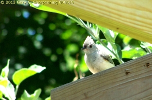 Tufted Titmouse; photo by GAC
