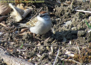 A Chipping Sparrow; photo by GAC.