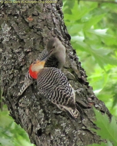 Flicker Woodpeckers -- parent and adolescent; photo by GAC