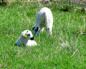 Lambs; photo by GAC at Mt. Saviour Benedictine Monastery near Elmira, NY