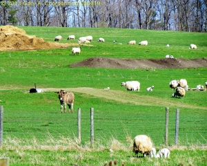 A Donkey and His Sheep; photo by GAC at Mt. Saviour Benedictine Monastery near Elmira, NY