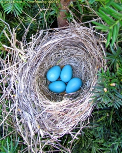 Robin Eggs; photo by Grace Y. Chorpenning