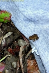 A New Toad on a Tee Shirt Collar; photo by GAC