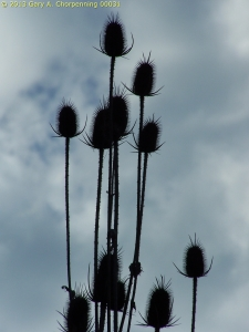 Teasel against the Sky; photo by GAC