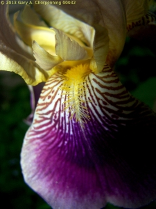 Iris #1; photo by GAC