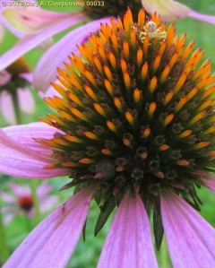 A Goldenrod Crab Spider on a Coneflower; photo by GAC