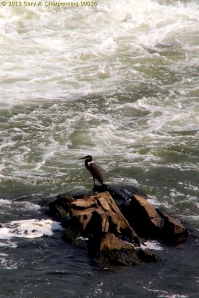 A heron below the Falls of the Potomac; photo by GAC