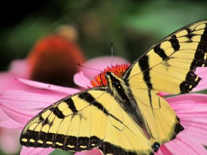 Eastern tiger swallowtail on a cone flower; its right wing has been damaged, but it seemed to be flying without difficulty; photo by GAC