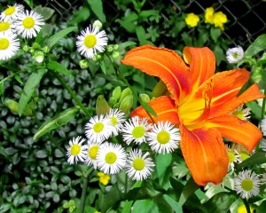 Day Lily and Daisy Fleabane; photo by GAC