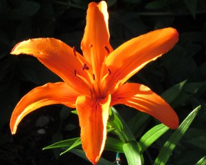 A day lily in the sun; photo by GAC