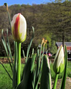 Tulips on a spring morning; photo by GAC