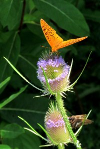 A fritillary butterfly on a teasel blossom; photo by GAC