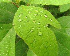 A sassafras leaf with water droplets
