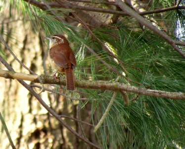 Carolina Wren in my backyard