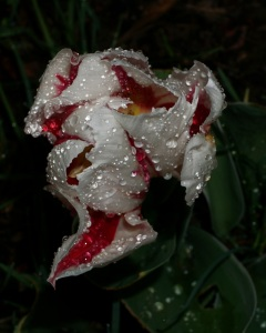Tulip after a rain shower