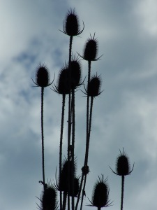 Teasel against a Gray Sky; photo by GAC