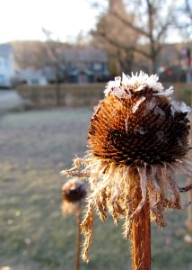 Coneflower seed head in the frost; photo by GAC