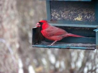 Male Cardinal at my bird feeder